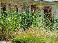 Johnson Grass.jpg