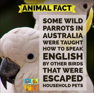 talking pet wild parrots infographic