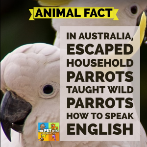 pet wild parrots speak infographic