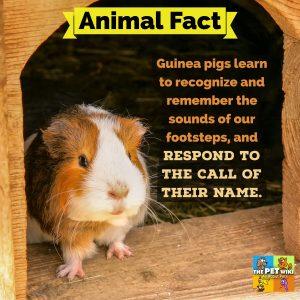 Guinea pig memory