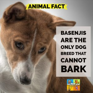 Basenjis are the only dog breed that cannot bark
