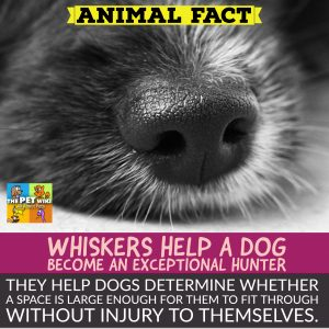 why dogs have whiskers
