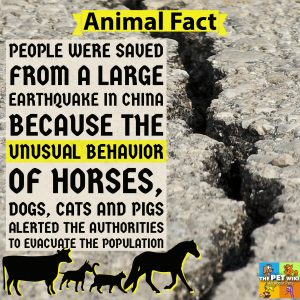 animals sence earthquakke infographic cats dogs pigs cows horses