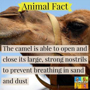 camel fact