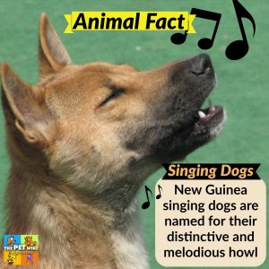 Guinea singing dogs name