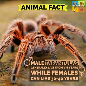 How long do tarantulas live