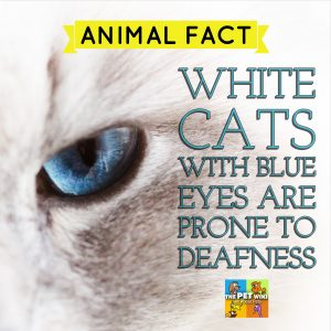 White Cats and Deafness infographic