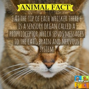 At the tip of each whisker there is a sensory organ called a proprioceptor