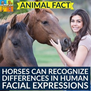 horses recognize human facial expressions