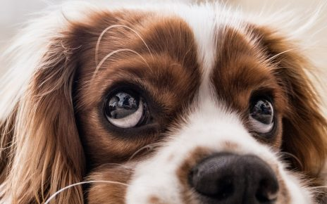 Canine Stress Syndrome (CSS in dogs)