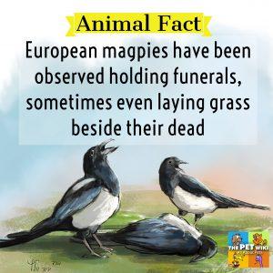 European magpie funerals