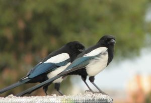 EUROPEAN MAGPIES ('Pica pica')