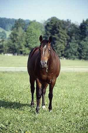American Quater Horse
