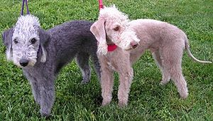 Bedlington Terriers