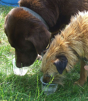 Dogs Drinking