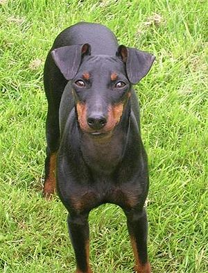 Manchester Terrier, English Toy Terrier