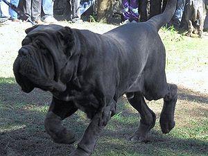 Neapolitan Mastiff The Pet Wiki