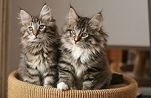 Norwegian Forest Cat The Pet Wiki
