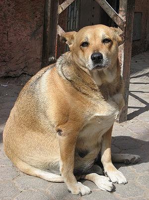Obese Dog