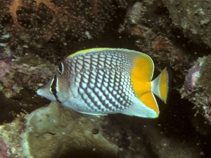 Pacific Pearlscale Butterflyfish