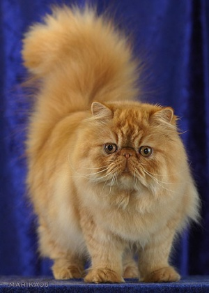 Peke-Faced Persian