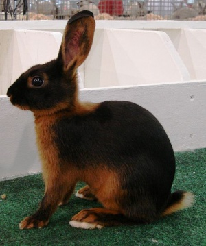 Tan Rabbit