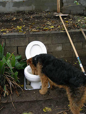 Dog drinking out of toilet bowl
