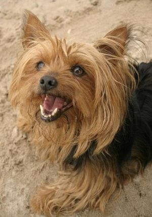 Yorkshire Terrier - The Pet Wiki