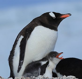 Emperor Penguin Dad and chick