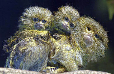 Marmoset dad and his set of twins