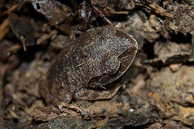 Asian Litter Frog