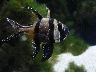 Banggai_Cardinalfish.jpg