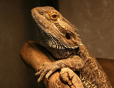 Bearded Dragon - The Pet Wiki