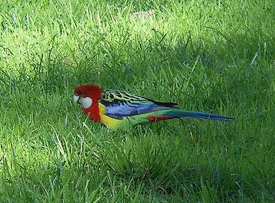 Bird eating grass