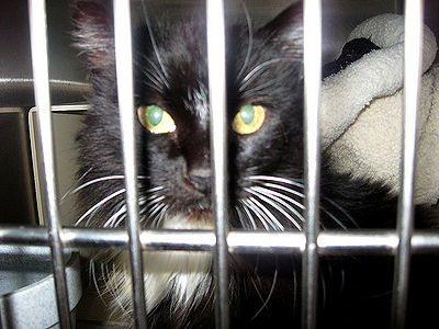 Cat in Cage at Shelter