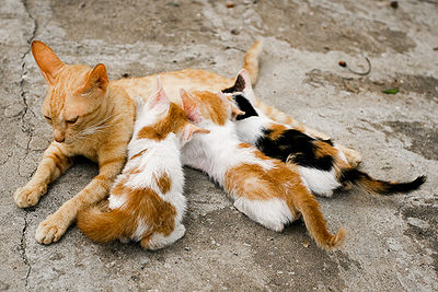 Cat nursing kittens