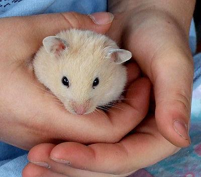 Child Hamster