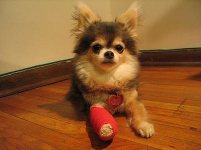 Dog with Bandaged Leg