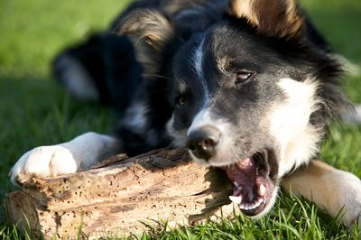 Dog Eating Wood