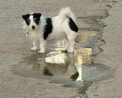 Dog Puddle