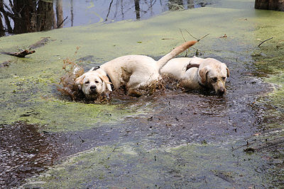 Dogs And Mud Puddles The Pet Wiki