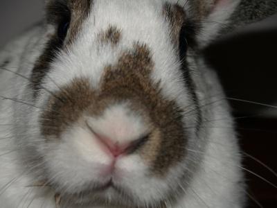 English Spotted Rabbit