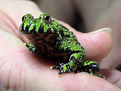 Fire Belly Toad