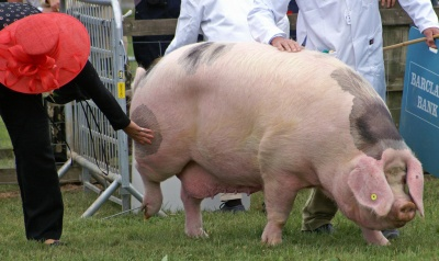 Gloucestershire Old Spots Pig