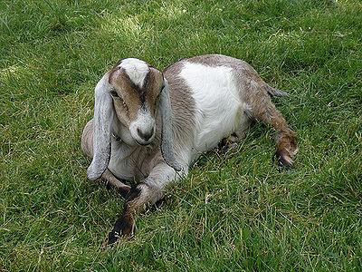 Goats The Pet Wiki
