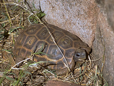 Hinge-Back Tortoise