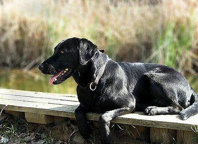 Labrador Retriever - labradinger