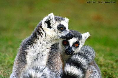 Lemurs lemur
