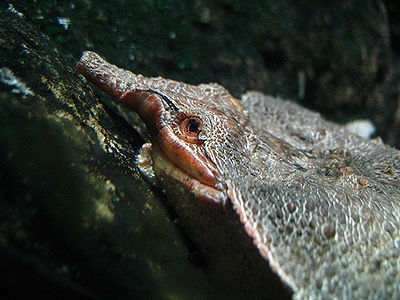 Matamata Turtle