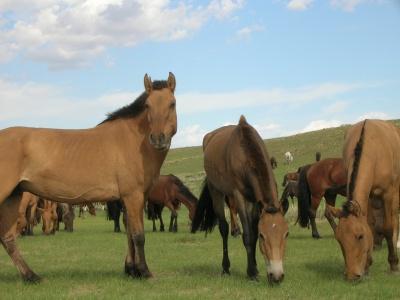 Mongolian Wild horses